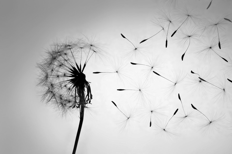 dandelion-black-white
